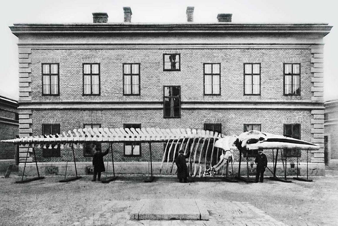 Das Bild zeigt ein Wal-Skelett vor dem Bürogebäude der Thermochemischen Fabrik der Stadt Wien. Das Bild stammt aus dem Jahr 1889. © Wiener Stadt- und Landesarchiv